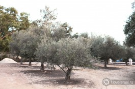 Оливковая роща возле дома.