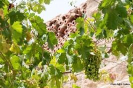 Сбор израильского винограда.
