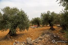 Оливковое дерево плодоносит раз в два года.