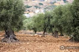 На одной плантации зачастую деревья принадлежат разным семьям.