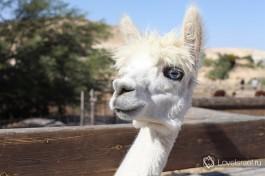 Альпака-блондинка. Грациозная шея и голубые небесные глаза... Королева всех королев )