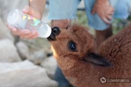 Маленький альпачонок ест молоко из бутылки. Его мать к сожалению умерла при родах... но зато ему оказывают столько внимания! )