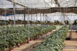А вот так растут помидоры Шерри в Израиле