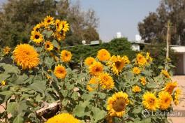 Подсолнухи в пустыне. Правда желтый - замечательный цвет?