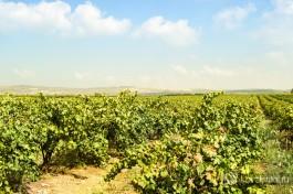 Винонградные поля около Зихрон-Яакова.