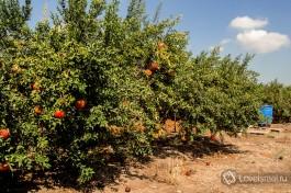 Гранатовые деревья, недалеко от виноградников, Зихрон-Яаков.